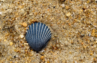 Cape Hatteras - Seashell
